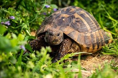 Presència de tortuga Mediterrania al Manol