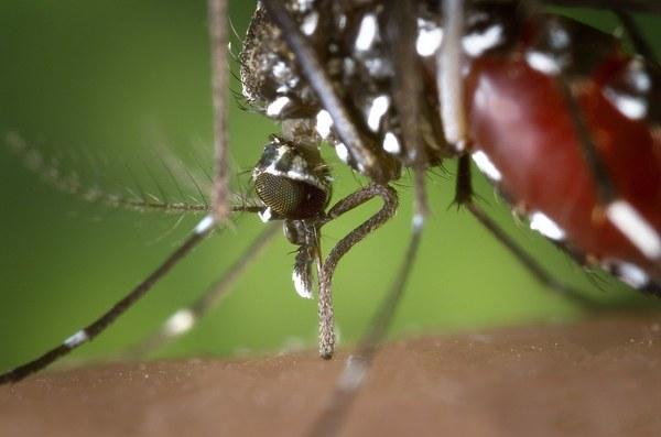 S'obre el termini d'exposició pública de l'Ordenança municipal per a la prevenció i el control dels mosquits i, particularment el mosquit tigre